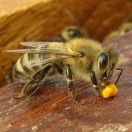 Bronze Certificate ,International Beekeeping Photography Competition